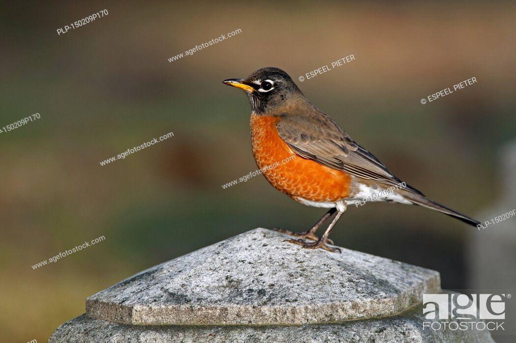 Imagen: American robin (Turdus migratorius) perched on stone.