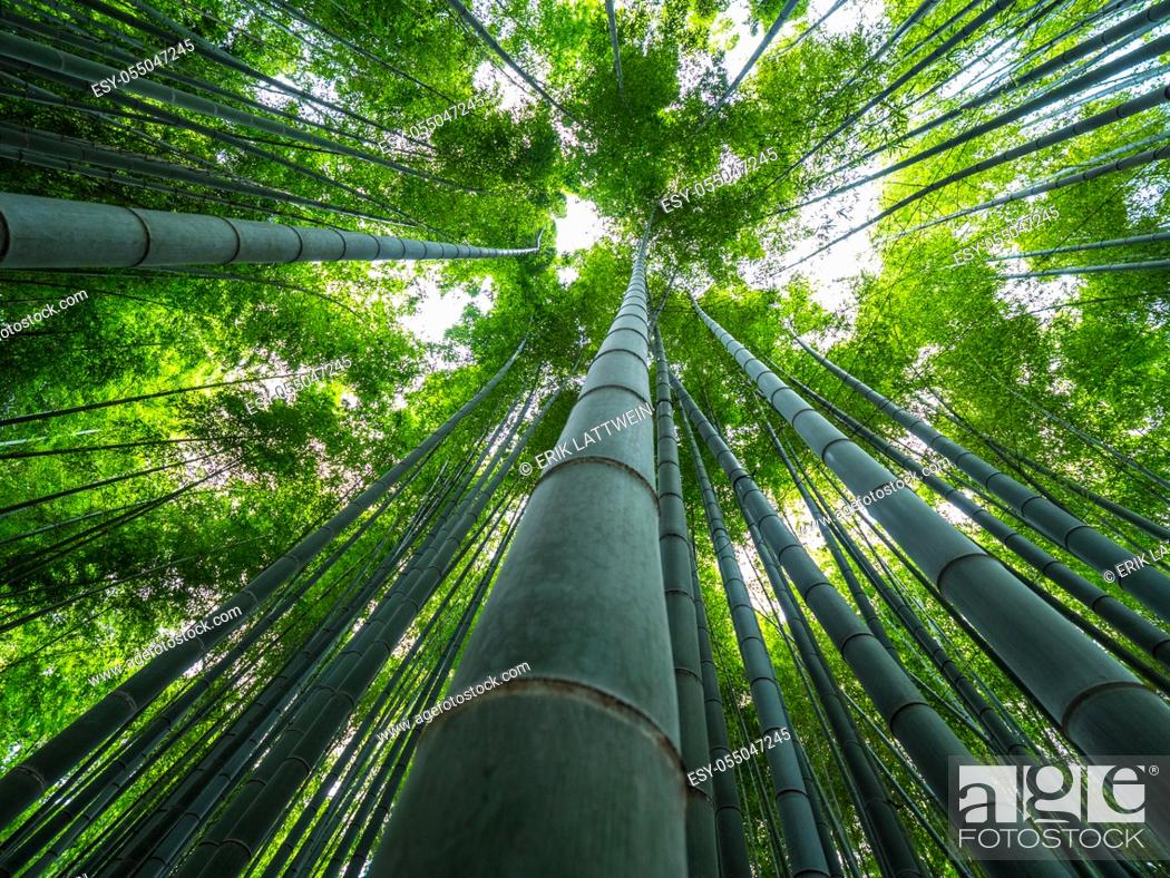 Stock Photo: Tall Bamboo trees in an Japanese Forest.