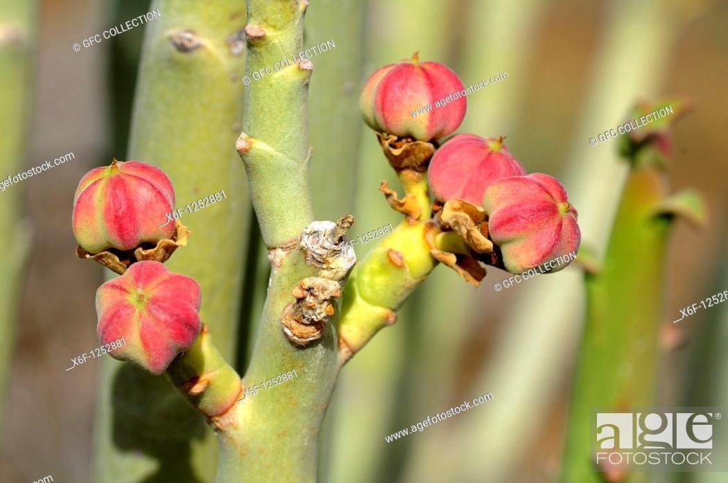 Stock Photo: Fructification of Euphorbia dregeana, Dikboudmelkbos, Richtersveld Transfrontier National Park, South Africa.