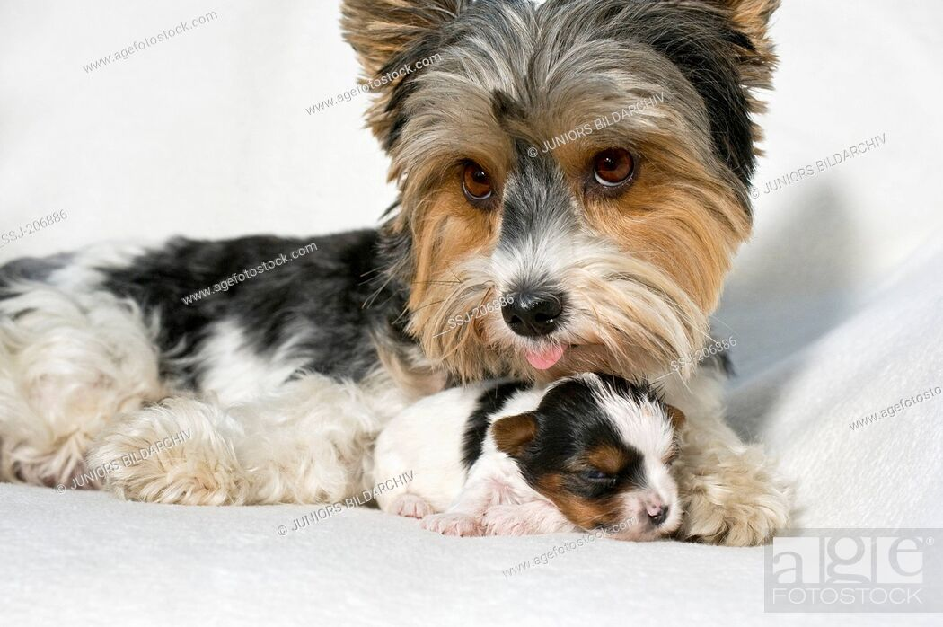 Stock Photo: Biewer Terrier. Bitch licking puppy (3 weeks old) while lying on a white blanket. Germany.