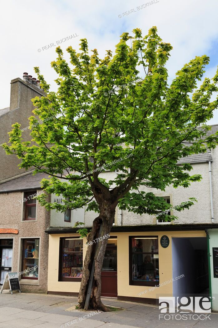 Stock Photo: Albert Street, Kirkwall, Orkney Mainland, Scotland, UK, Great Britain, Europe  The Big Tree is a two hundred year old Sycamore Acer pseudoplatanus in the.