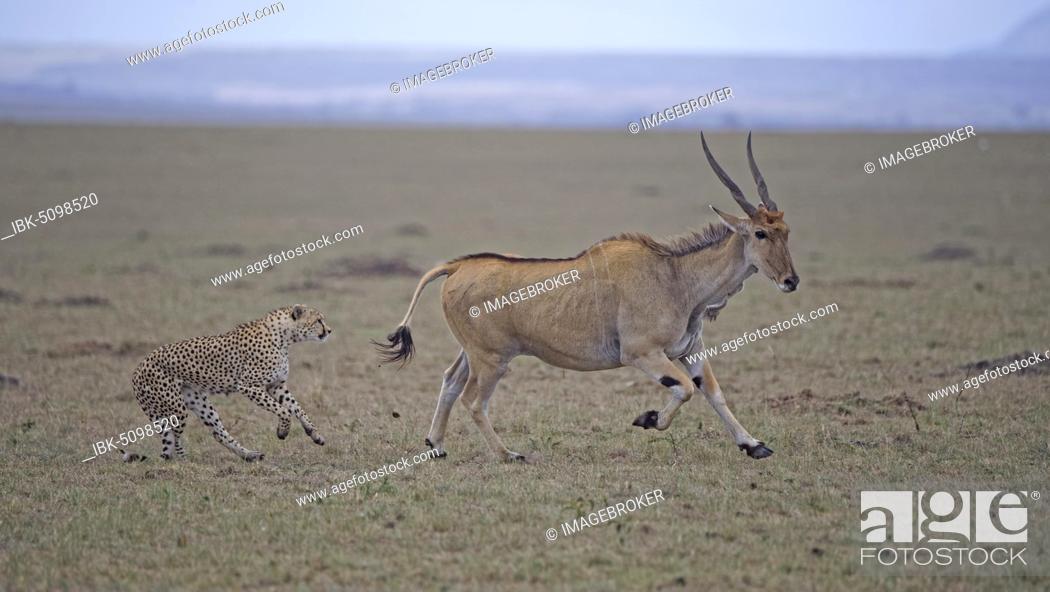 Imagen: Cheetah (Acinonyx jubatus) hunts an adult eland, Masai Mara National Reserve, Kenya, Africa.