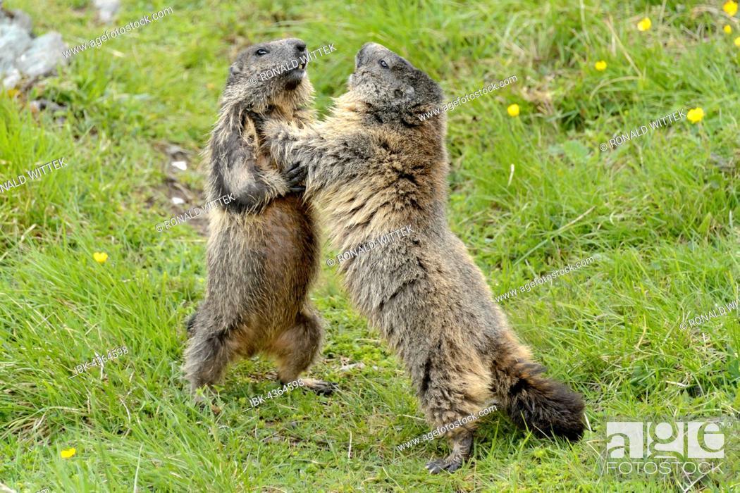 Stock Photo: Alpine marmots (Marmota marmota) fighting, High Tauern National Park, Austria.