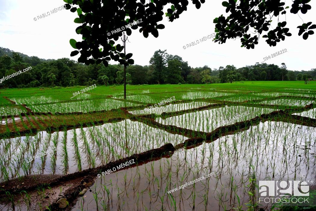 Stock Photo: Rice fields in Cotigao sanctuary, Goa, India.