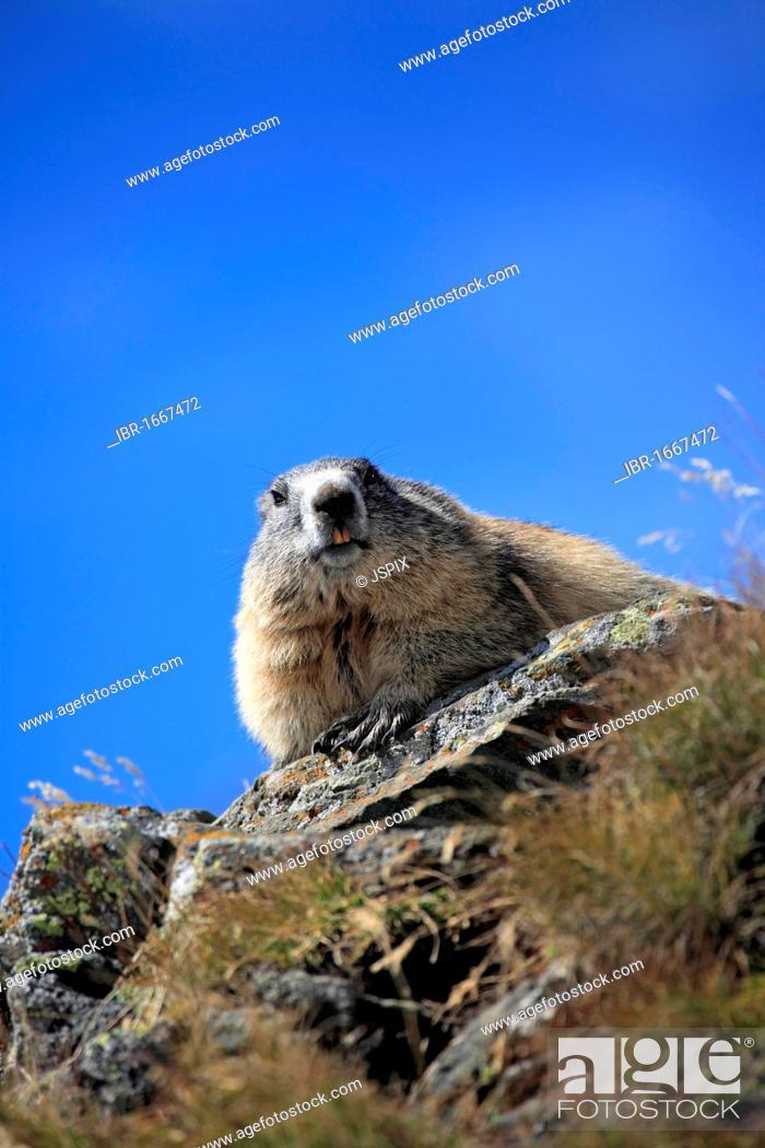Stock Photo: Alpine marmot (Marmota marmota), adult, Grossglockner massif, Nationalpark Hohe Tauern national park, Austria, Alps, Europe.