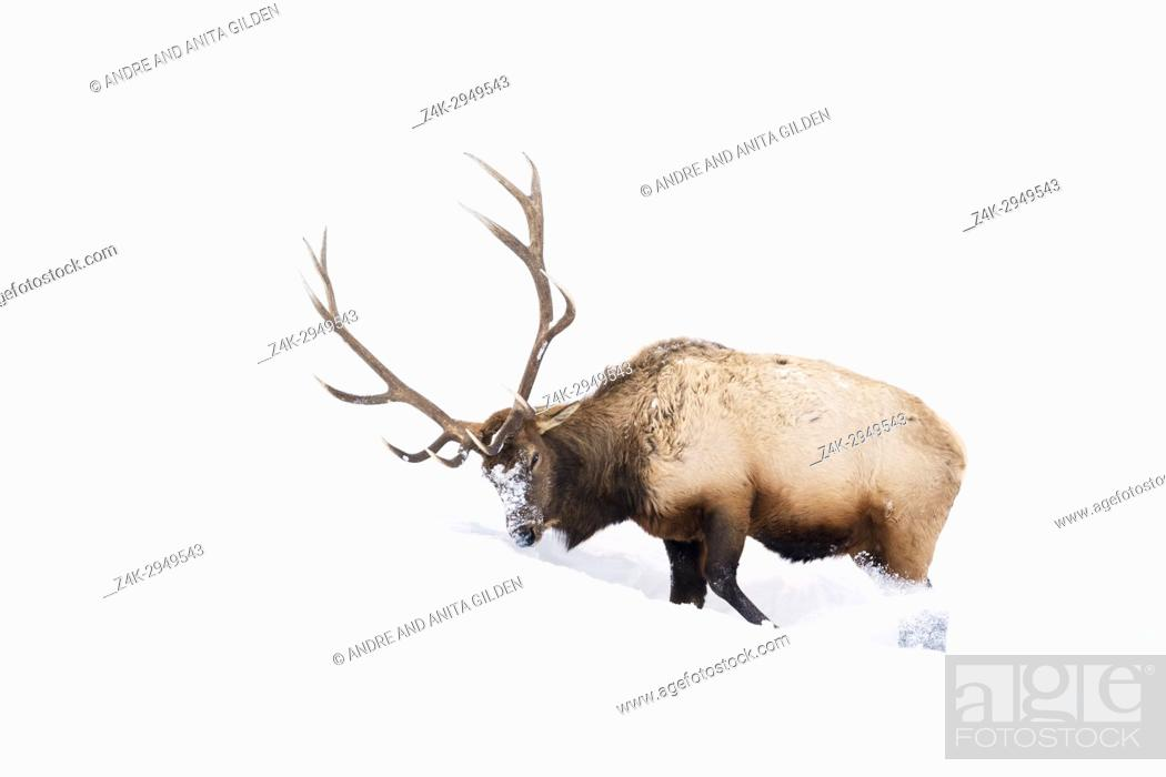Imagen: Elk (Cervus elaphus) bull, foraging and digging in winter snow, Yellowstone National Park, Montana, Wyoming, USA.