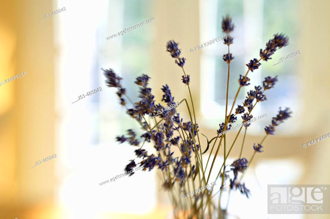 Stock Photo: STILL LIFE  Riverwoods, Illinois. Vase hold twigs of dried lavender on kitchen table, selective focus, blurred effect with lens, abstract.