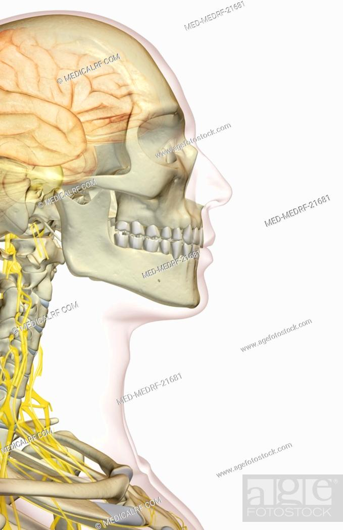Stock Photo: The brain and the cervical nerves.