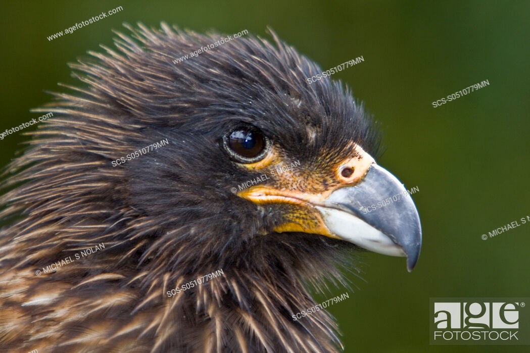 Stock Photo: The Striated Caracara, Phalcoboenus australis is a bird of prey of the Falconidae family In the Falkland Islands it is known as Johnny Rook It breeds in several.