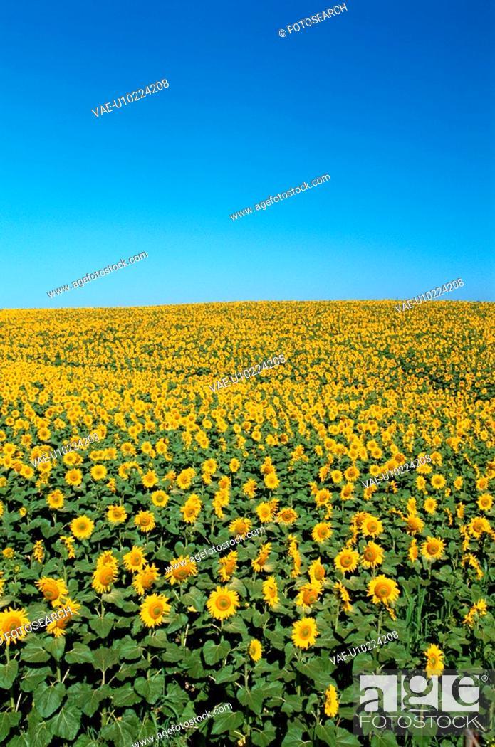 Stock Photo: Sky Above Sunflower Field.