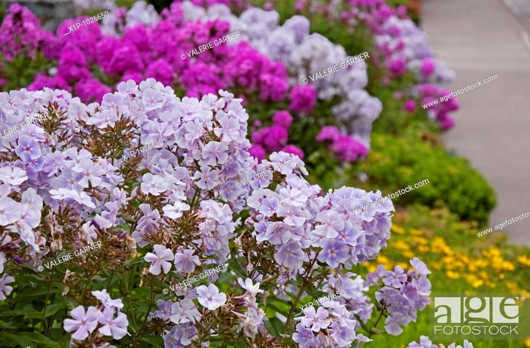 Stock Photo: This floral garden shot features light purple summer phlox flowers with magenta phlox in the background and other greenery and sidewalk intentionally blurred in.