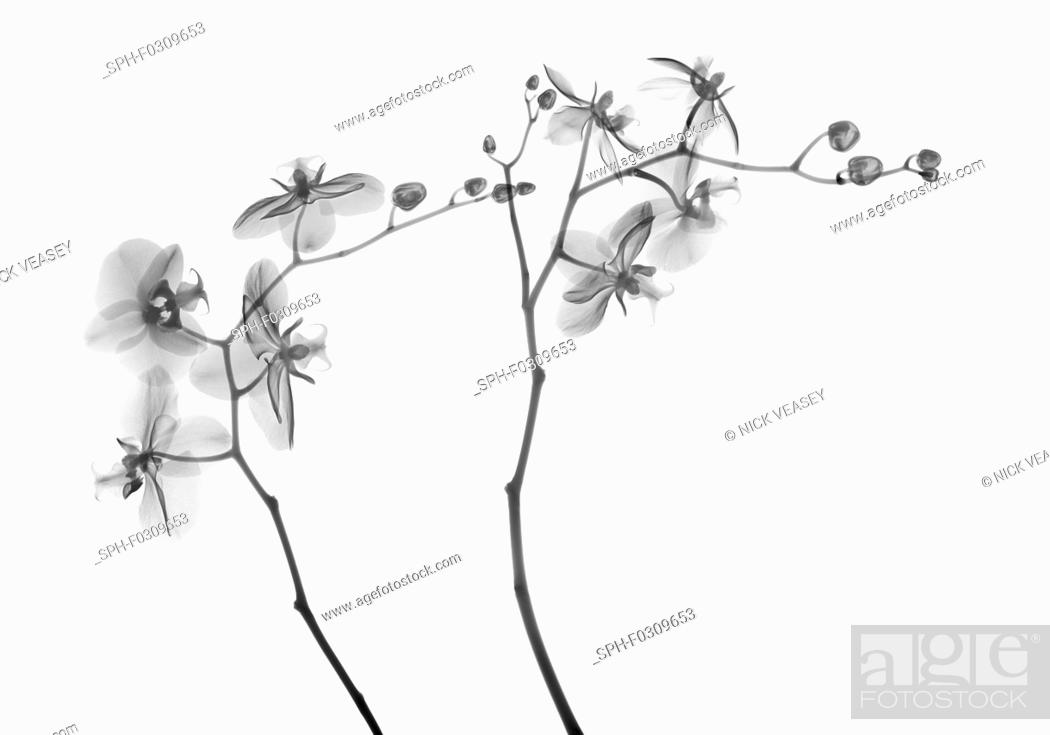 Stock Photo: Orchid stems (Phalaenopsis sp.), X-ray.