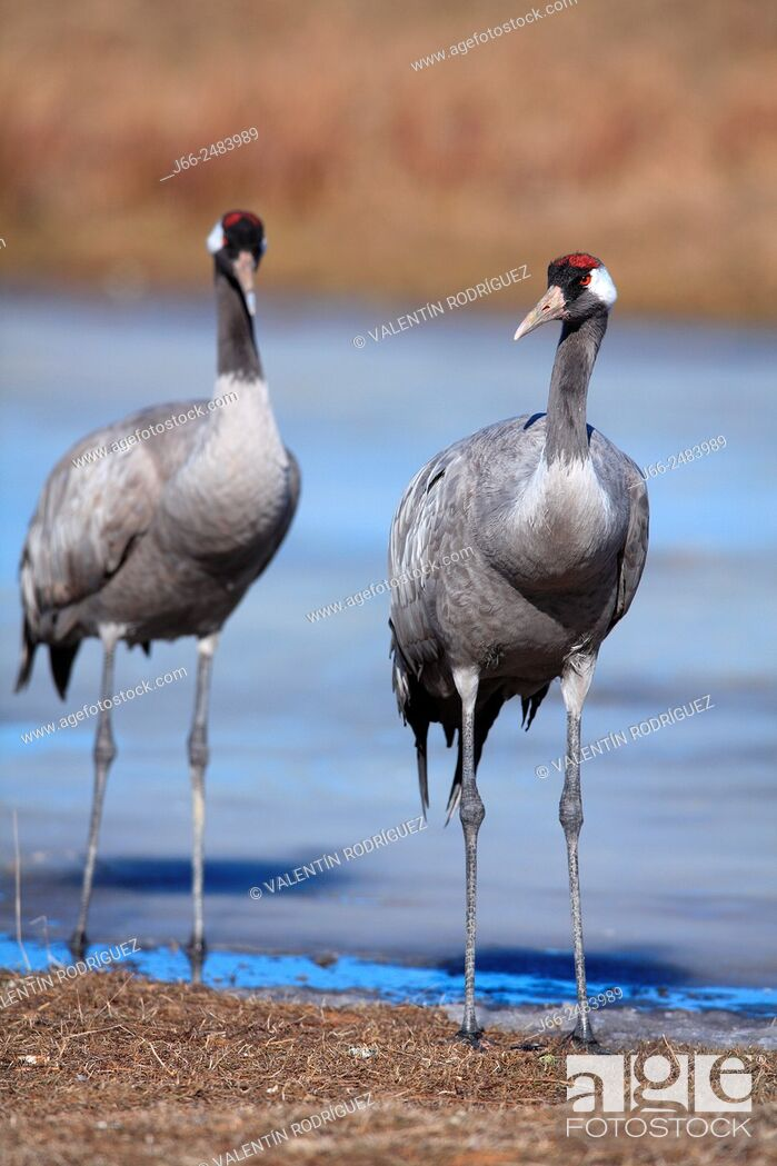 Stock Photo: Two crane (Grus grus) in the wildlife reserve Gallocanta. Zaragoza. Spain.