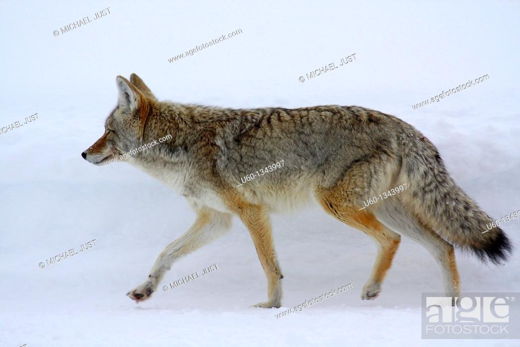 Stock Photo: A coyote makes its way through the snow at Yellowstone National Park,Wyoming.