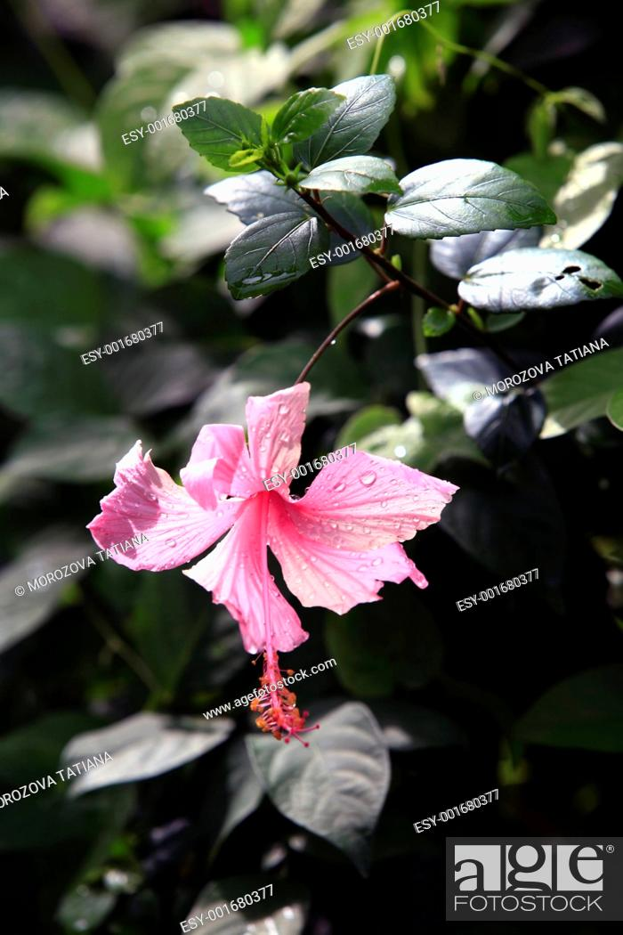 Stock Photo: Tropical flower - Hibiscus.