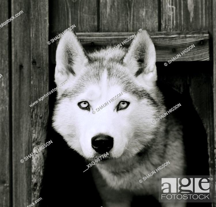 Stock Photo: A Husky dog.