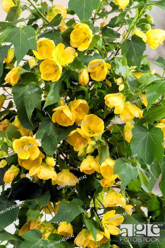 Abutilon Julia Stock Photo Picture And Rights Managed Image Pic
