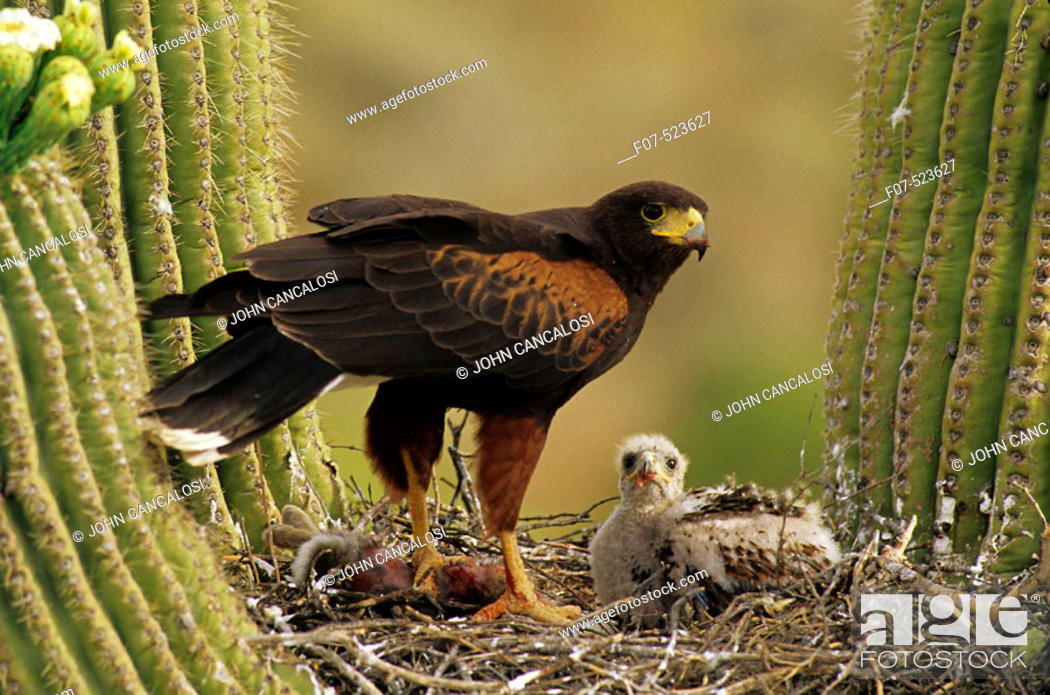 Stock Photo: Harris' Hawk (Parabuteo unicinctus)-Arizona- On nest in saguaro cactus-group hunters-raptor-desert dwellers - with young.