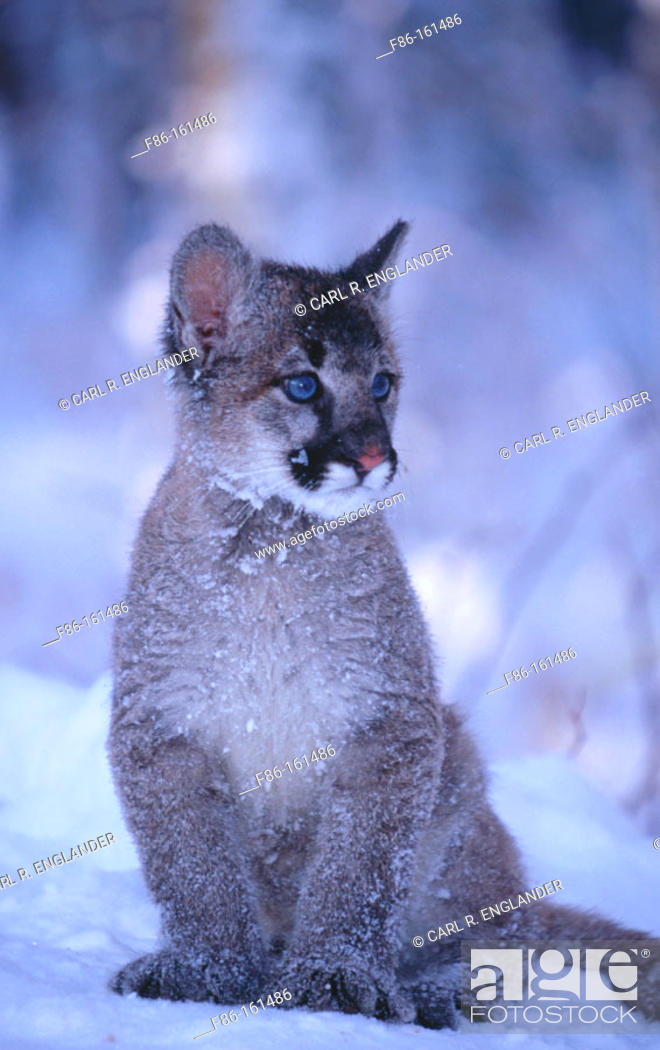 Stock Photo: Baby Mountain Lion (female, 3 months old) (controlled / captive animal) sitting in winter snow, Felis concolor, Vermont, USA.