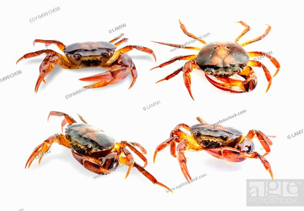 Stock Photo: Collection Freshwater crab on white background. Ricefield crab in Thailand.