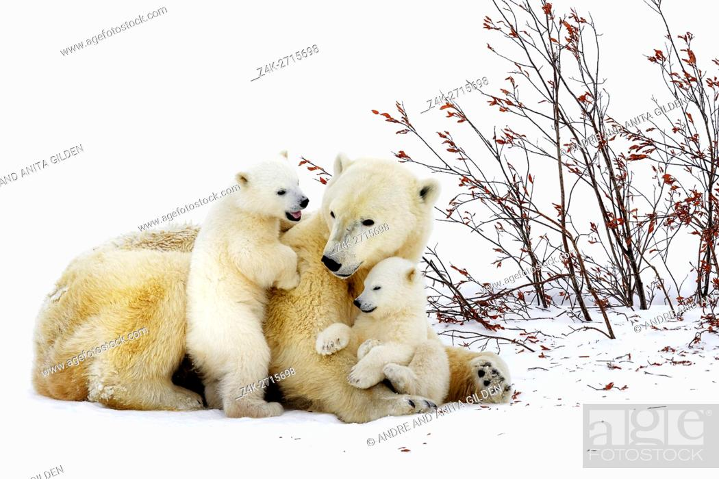 Imagen: Polar bear mother (Ursus maritimus) lying down on tundra, with two new born cubs playing, Wapusk National Park, Manitoba, Canada.
