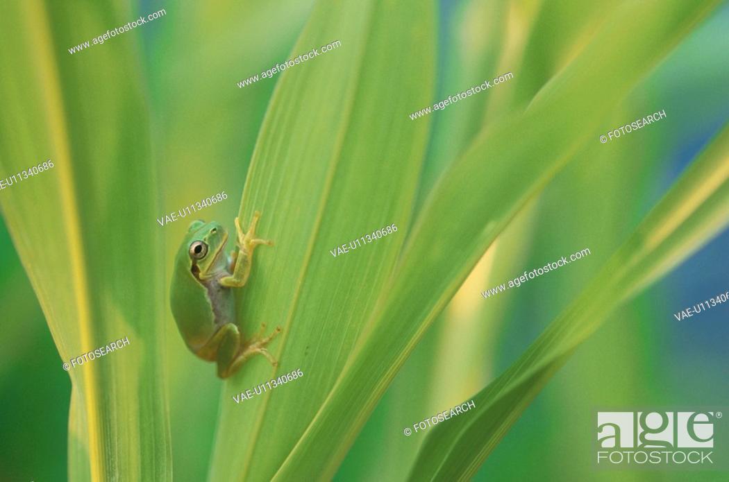 Stock Photo: Treefrogs.