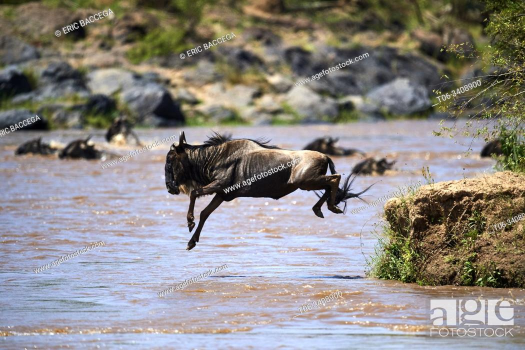 Stock Photo: Eastern White-bearded Wildebeest (Connochaetes taurinus) jumping into Mara river on migration, Masai Mara National Reserve, Kenya.