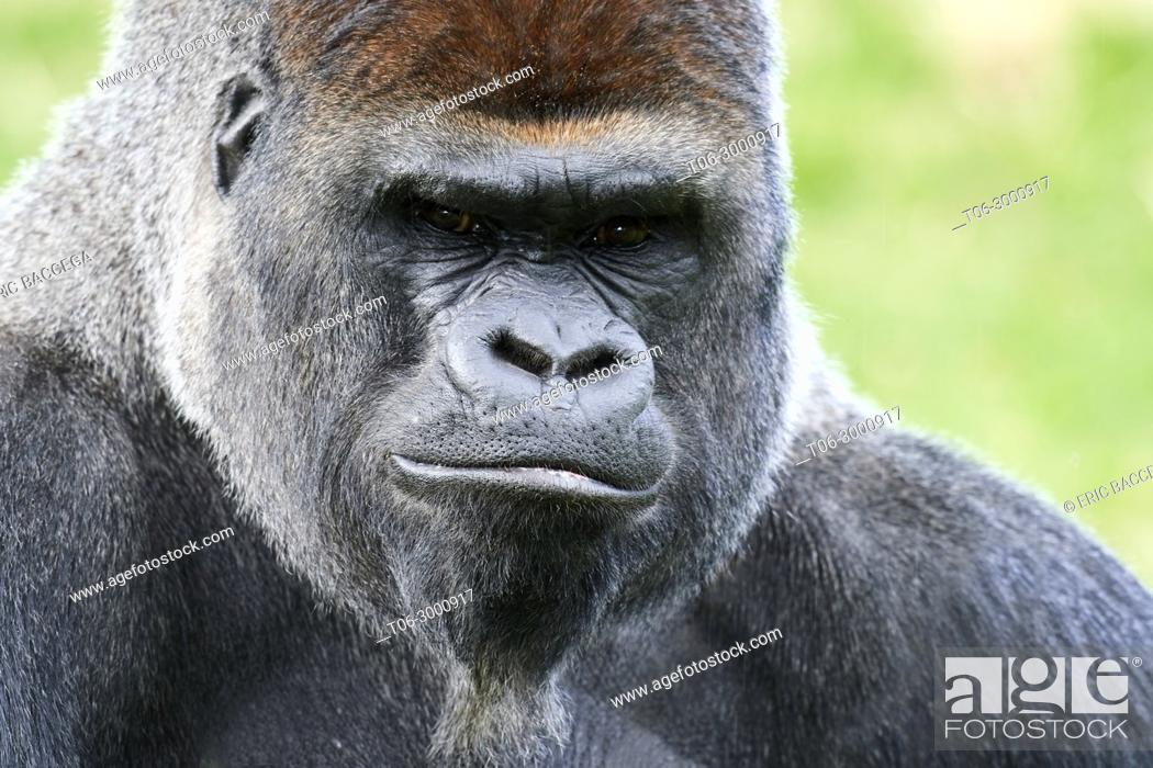 Stock Photo: Male silverback western lowland gorilla (Gorilla gorilla gorilla) portrait, captive, Beauval Zoo, France.