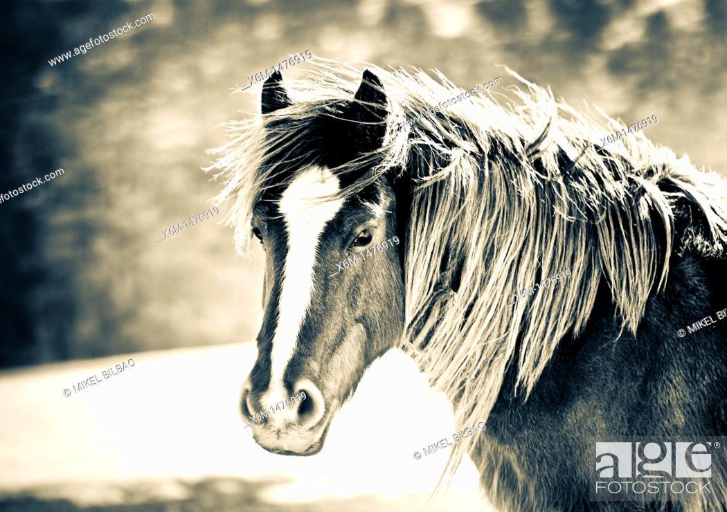 Stock Photo: horse Equus ferus caballus.