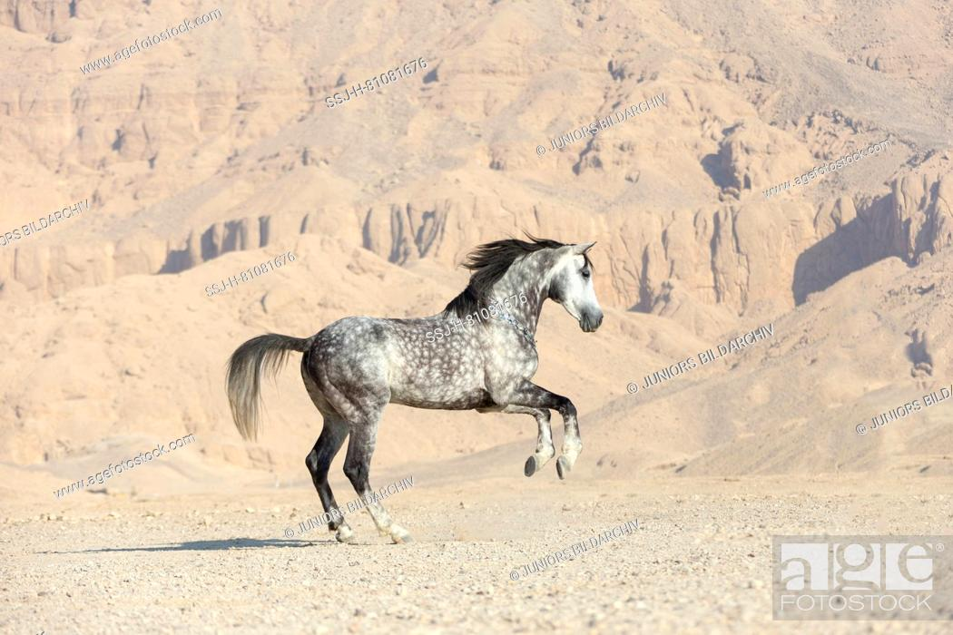 Purebred Arabian Horse Grey Stallion Showing Off In The Desert Egypt Stock Photo Picture And Rights Managed Image Pic Ssj H 81081676 Agefotostock