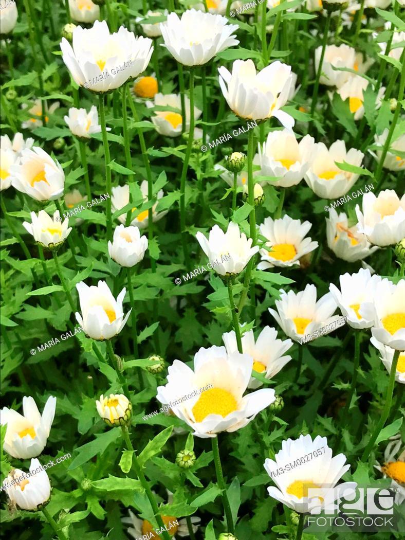 Stock Photo: Daisy flowers.