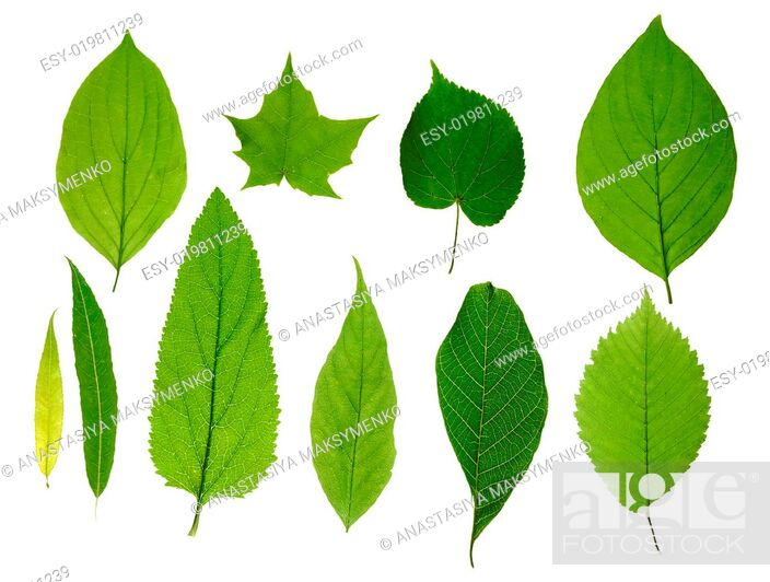 Stock Photo: Green tree leaves.