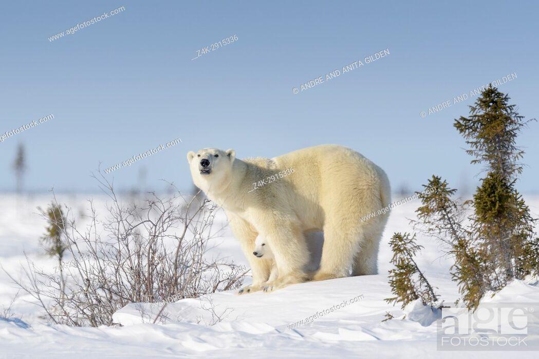 Imagen: Polar bear mother (Ursus maritimus) with new born cub standing on tundra, Wapusk National Park, Manitoba, Canada.