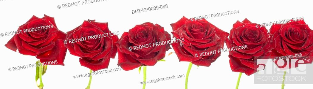 Stock Photo: Red Roses.