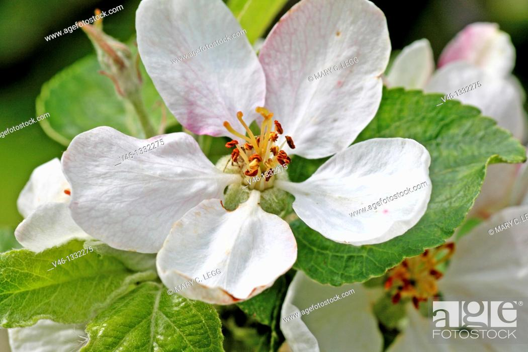 Stock Photo: Open apple blossom  Fresh apple blossom surrounded by green leaves  Close-up  Macro  Open  Blossom with detailed stamens  White with pink details.