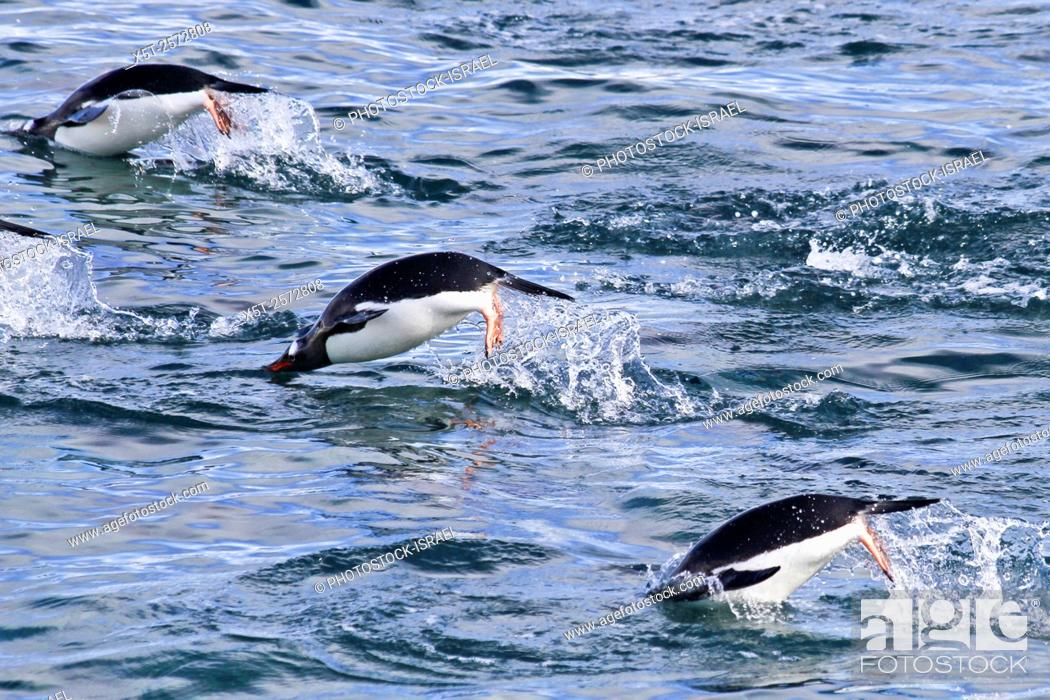 Stock Photo: Gentoo penguins (Pygoscelis papua). swimming in the ocean. Gentoo penguins grow to lengths of 70 centimetres and live in large colonies on Antarctic islands.