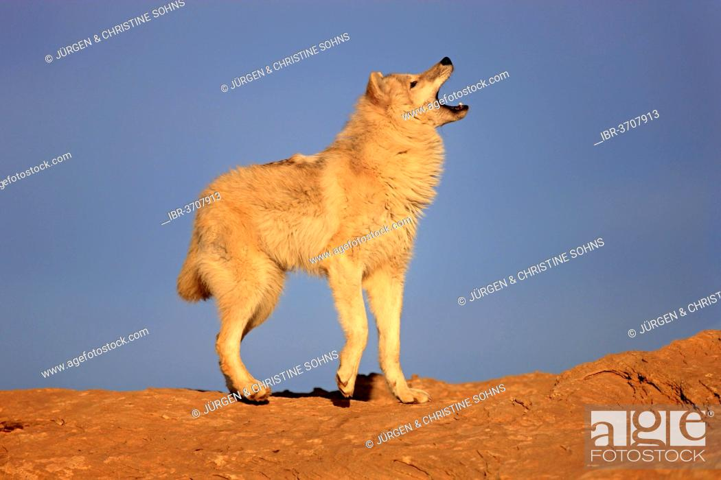 Stock Photo: Wolf (Canis lupus), adult, captive, Monument Valley, Utah, United States.