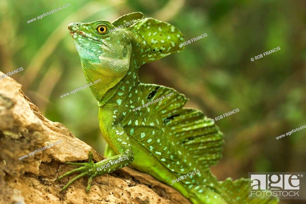 Stock Photo: Plumed Basilisk (Jesus Christ Lizard), named because it can run some meters over water; Arenal, Alajuela Province, Costa Rica.