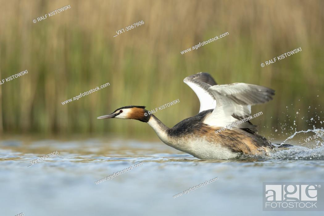 Stock Photo: Great Crested Grebe (Podiceps cristatus) in a hurry, flapping its wings, taking off from a stretch of water, chasing a rival, wildlife, Germany, Europe.