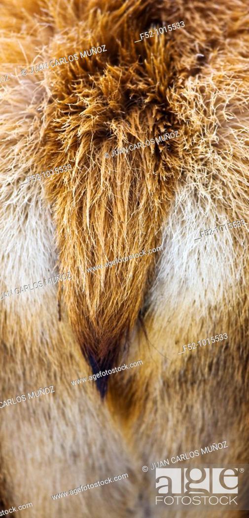 Stock Photo: Red Deer. Cervus elaphus.