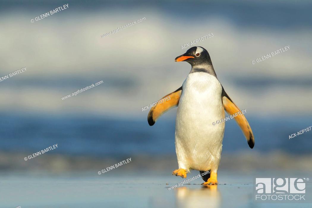 Imagen: Gentoo Penguin (Pygoscelis papua) emerging from the ocean in the Falkland Islands.
