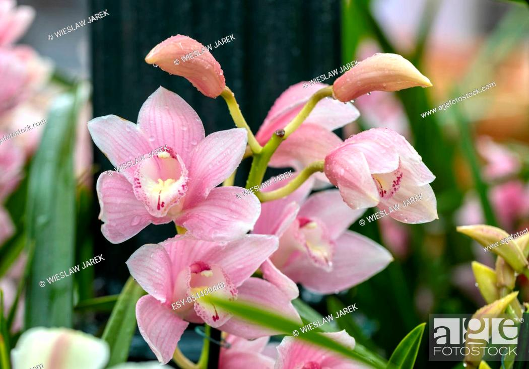 Stock Photo: Close up of beauty pink orchid flower.