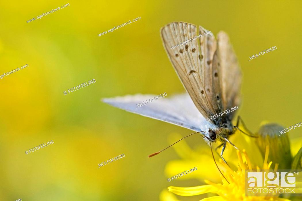 Stock Photo: Common blue butterfly Polyommatus icarus resting on flower.