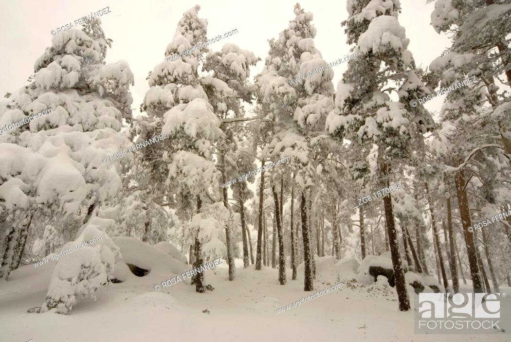 Photo de stock: Snowny pine wood, Guadarrama mountains, Madrid, Spain.