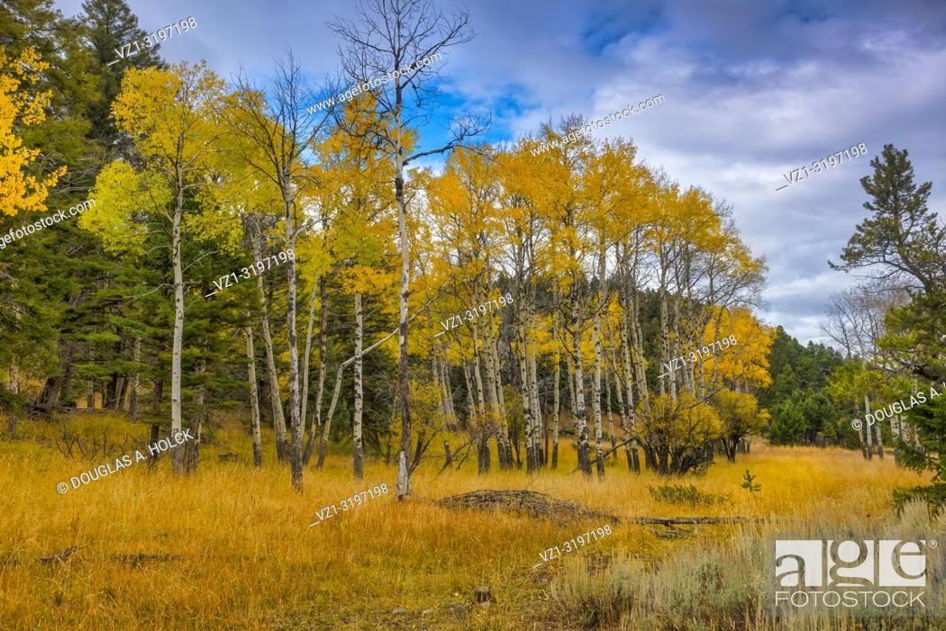 Stock Photo: Fall Aspen above Mammoth Hot Springs in Yellowstone National Park, Montana, USA.