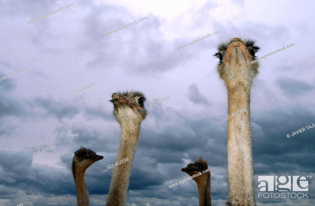 Stock Photo: Ostrich (Struthio camelus).