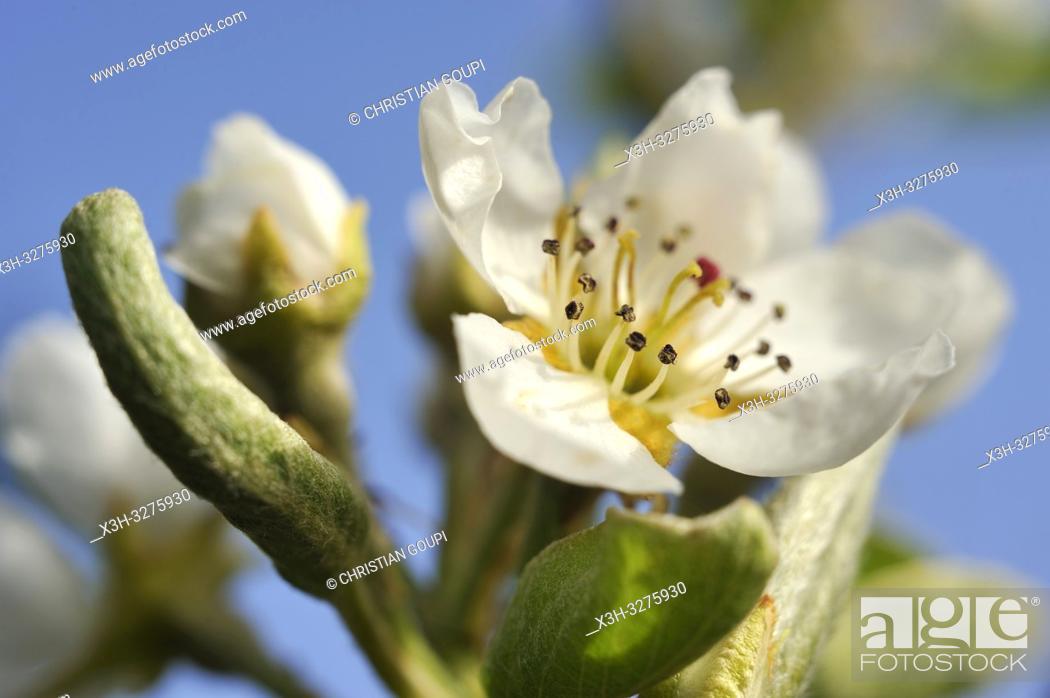 Imagen: Pear tree in flower (Pyrus communis), Eure-et-Loir department, Centre-Val de Loire region, France, Europe.