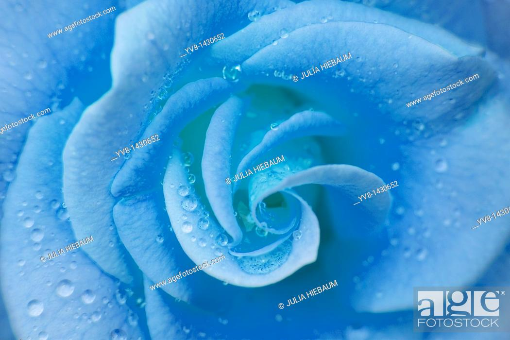 Stock Photo: Blue rose with water droplets.