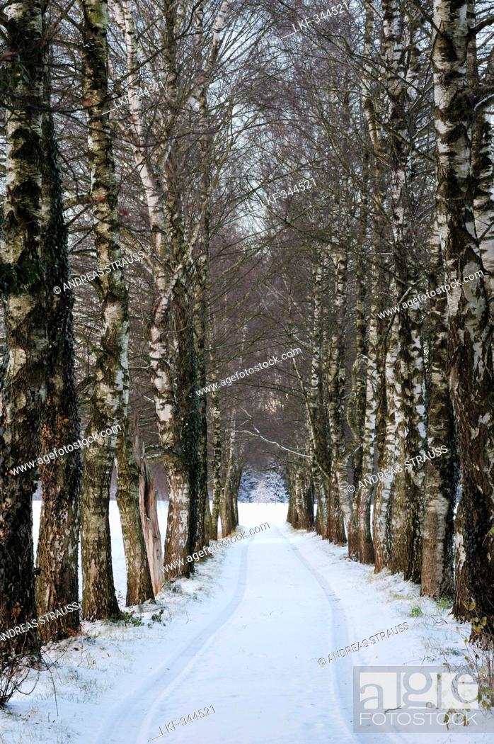 Stock Photo: Alley of birch trees in winter, Rosenheim, Upper Bavaria, Bavaria, Germany, Europe.