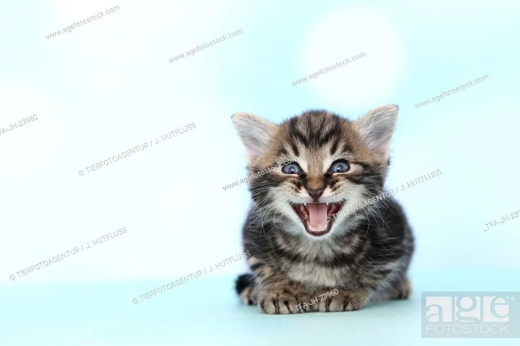 Stock Photo: European Shorthair Kitten.